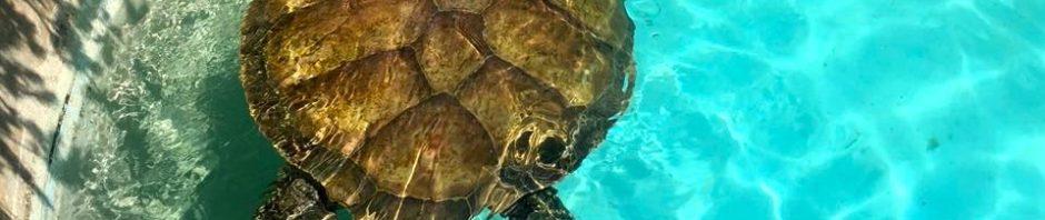 Tartaruga delle Bermuda